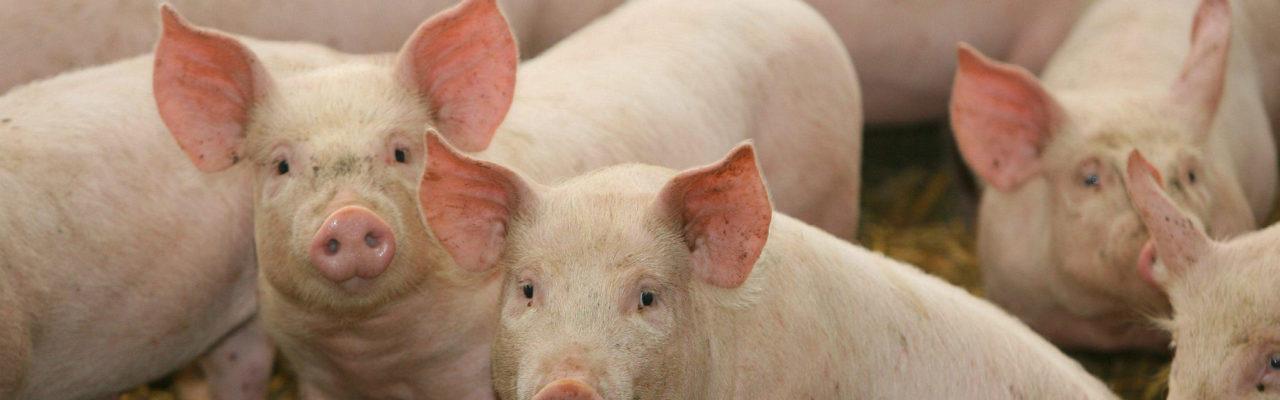 Jamaica Pig Farmers Association